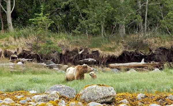 CAD-RM-CPC Kanada Vancouver Island Grizzly bear in Canadian nature playing with cub